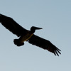 Pelican_Sunrise-15