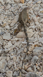 Aruba: iguana.