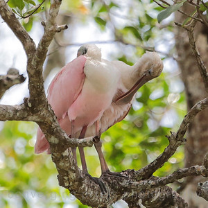 The Roseate Spoonbill-viewed on the