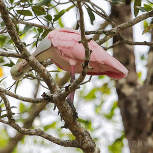 The Roseate Spoonbill-viewed on the Tarcoles River.