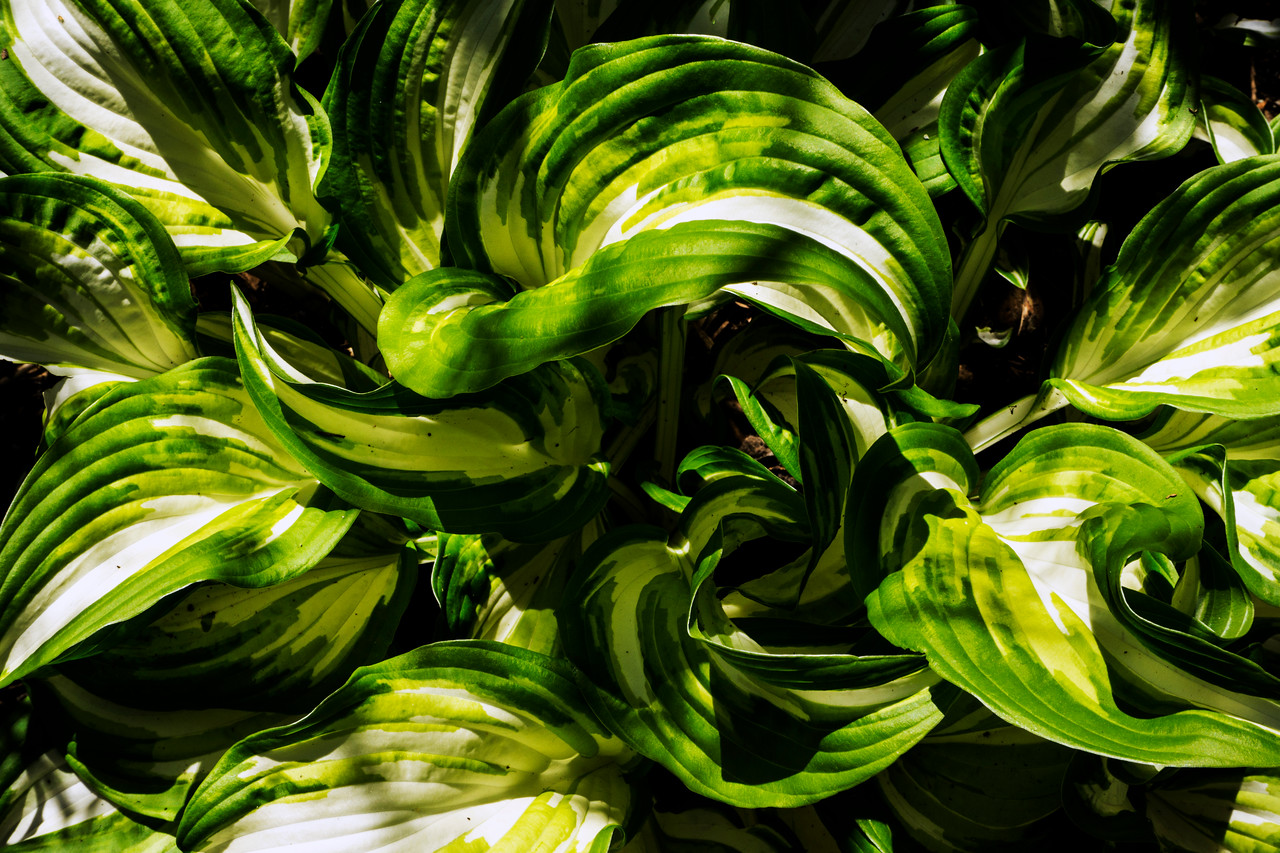 Big variegated plant