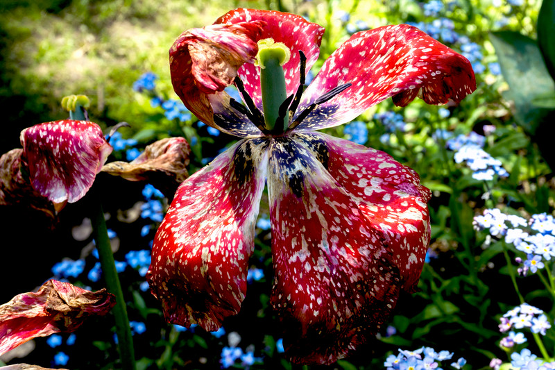 Wildly wonderful tulip