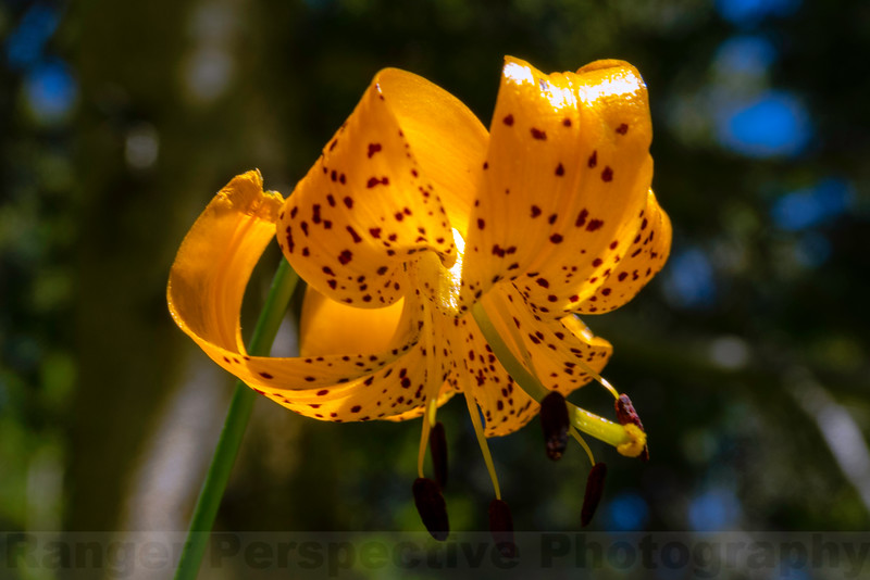 Kelley's Lily