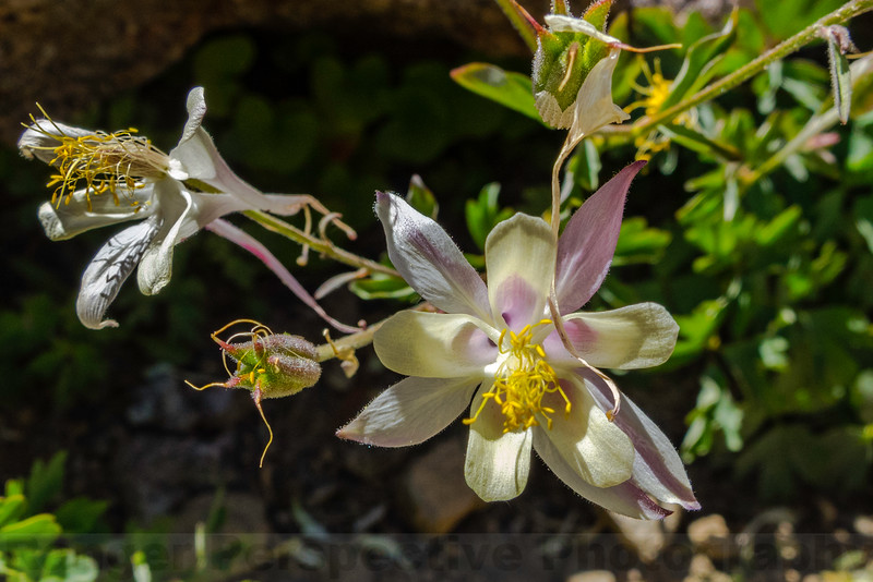 Coville's Columbine, at over 11,000 ft