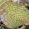 Beaver Tail Cactus Pad