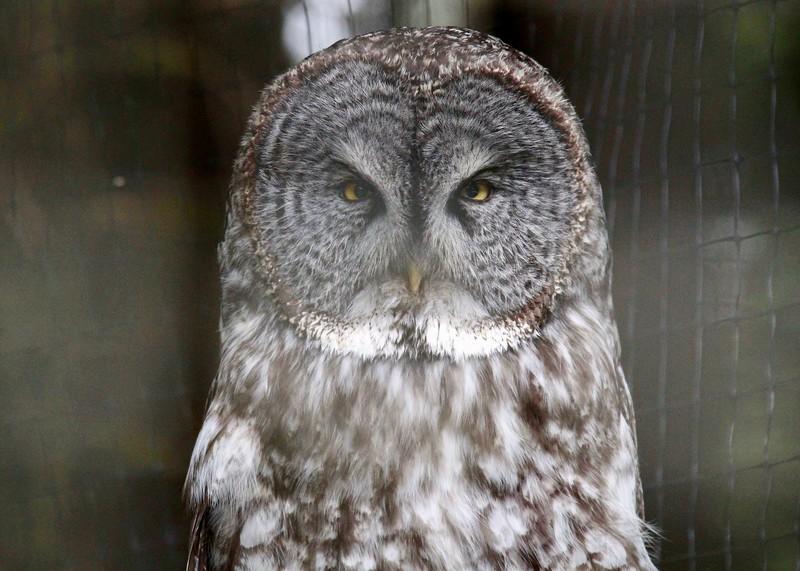 Gray Owl-Bird Sanctuary-Sitka-jea