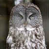Gray Owl-Bird Sanctuary-Sitka-jea