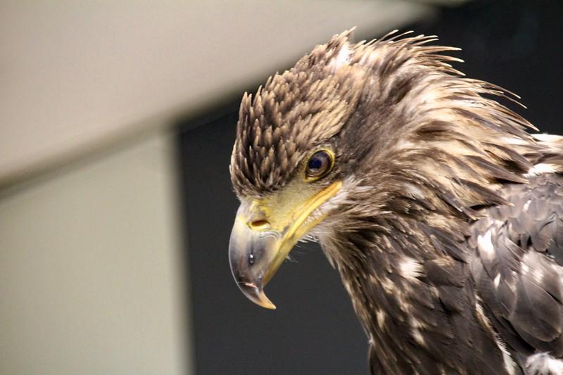Golden Eagle-Bird Sanctuary-Sitka-jea