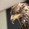 Golden Eagle-Bird Sanctuary-Sitka-jea