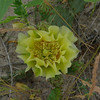 For being a pretty ugly and spiky plant, prickly pears have very beatuiful flowers.