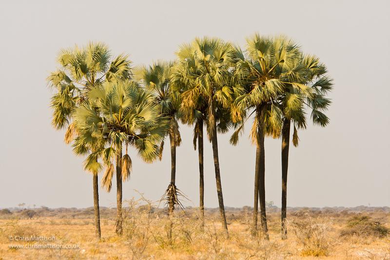 Makalani palm trees, Hyphaene petersiana, Etosha, Namibia