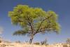 Camelthorn Acacia, Dan Viljoen National Park, Namibia