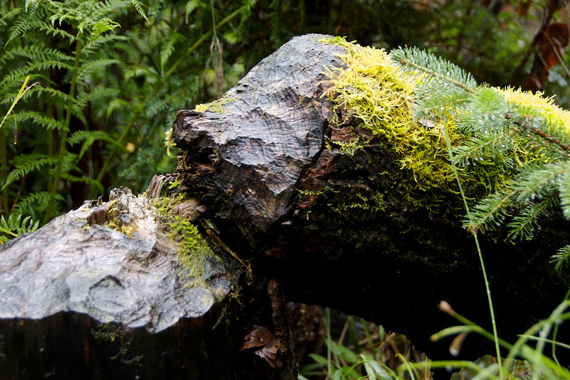Another beaver-chewed tree