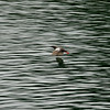 Pigeon Guillemot flying off. He's blurry, but beautiful ;-)