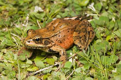 Red-legged Frog, Rana aurora, Golden Bluffs, California