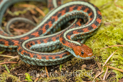 California Red-sided Garter Snake Thamnophis sirtalis infernalis Point Reyes, California, United States