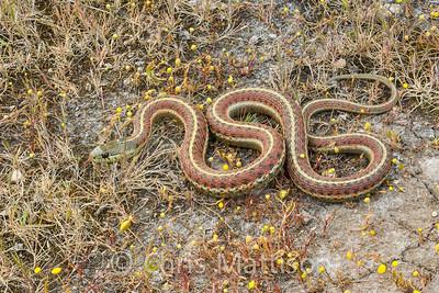 Coast Garter Snake, Thamnophis elegans terrestris, Point Reyes, California