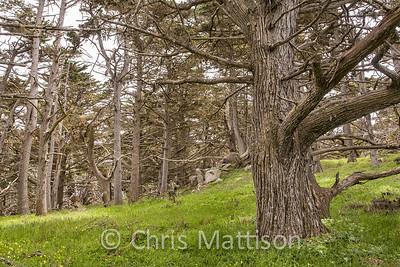 Monterey Cypress, Cupressus macrocarpa, Point Lobos State Reserve, California