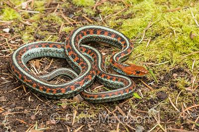 California Red sided Garter Snake Thamnophis sirtalis infernalis, Point Reyes, California, United States