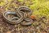 California Red sided Garter Snake Thamnophis sirtalis infernalis, Point Reyes, California, United States