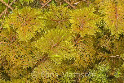Plume moss, Hypnum crista-castrensis, Washington, Pacific Northwest, USA