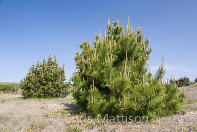 Bishop pine, or Bishop's pine, Pinus muricata, Point Reyes, California
