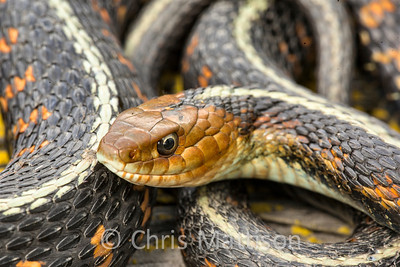 Red spotted Garter Snake Thamnophis sirtalis concinnus Wilamette Valley Oregon United States
