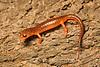 Yellow-eyed Salamander, Ensatina eschschotzii, San Mateo County, California