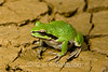 Pacific Tree Frog or Pacific Chorus Frog, Pseudacris regilla, Golden Bluffs, California