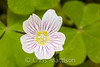 Redwood sorrel, or Oregon oxalis, Oxalis oregana, Northern California
