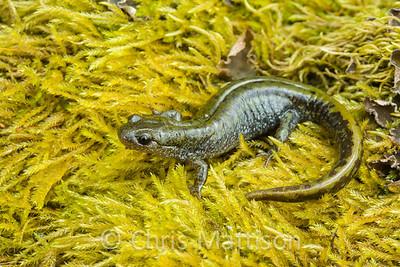Long-toed Salamander, Amystoma macrodactylum, Oregon