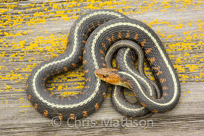 Red spotted Garter Snake Thamnophis sirtalis concinnus, Wilamette Valley, Oregon, United States
