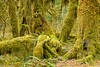 Hall of Mosses, Hoh Rain Forest on the Olympic Peninsula in the west of Washington state, USA.
