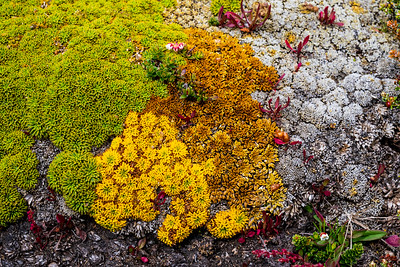 Lichen on West Point Island, West Falklands