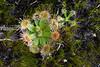 Sundew, Drosera species, near Pemberton, Western Australia
