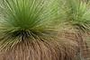 Grass Trees, Xanthorrhoea Preissii, Western Australia