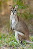 Whiptail, or Pretty-faced, Wallaby, Macropus parryi, Cooktown, Queensland, Australia