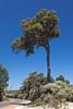 Blackbutt, Eucalyptus patens, growing along the Vasse Highway, near Nannup, Western Australia
