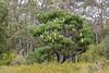 Bull Banksia, Giant Banksia, Banksia grandis, Western Australia