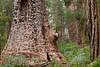 Red Tingle Tree, Eucalyptus jacksonii, Walpole-Nornalup National Park, Western Australia