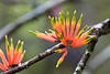 Brush, or Red, Mistletoe, Amylotheca dictyophleba, Possum Valley, Queensland, Australia