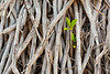 Red Mangrove, Rhizophora mangle, seedling growing among roots of palm, Mission Beach, Queensland, Australia