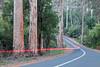 Karri trees, Eucalyptus diversicolor, growing along the Vasse Highway, near Pemberton, Western Australia