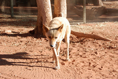 A dingo named Zari (the owner swears the name didn't come from Azaria). She was the sweetest thing, and loved being loved. She looks very threatening here--a perfect-looking dingo--the faker. She lives at the Outback Camel Farm.
