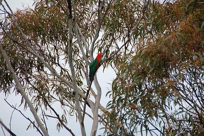 Australian King-Parrot, I think.