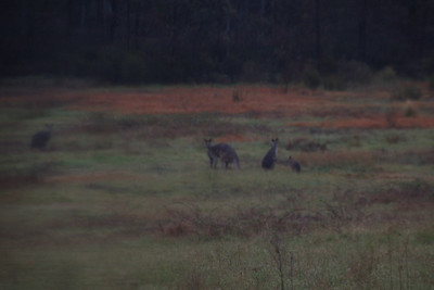 Yet again, not a good photo, but it was my first sight of wild kangaroos. They were off before there was time for another click of the shutter.