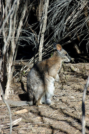 Male Tammar wallaby