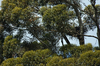 Wedge-tailed Eagle's nest. There was an eaglet in it, but I'm not sure he shows up.