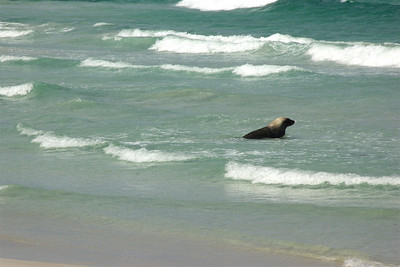 Our first stop on Kangaroo Island was at Seal Bay, where there's a population of the rare Australian Sea Lion. They only inhabit the oceans around Australia. We were able to get right onto the beach with them. What an amazing experience.