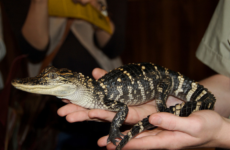 A baby croc,